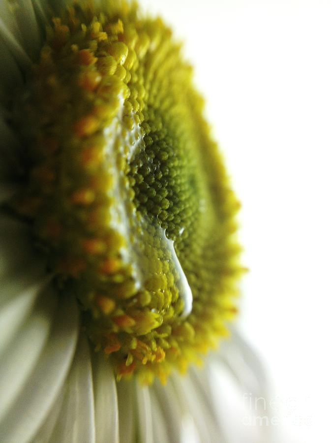 Tears Photograph - The Crying Daisy by Stephanie  Varner
