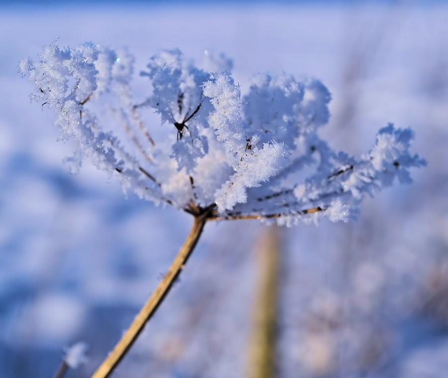 Snow Photograph - The Crystal Flower by Dave Woodbridge