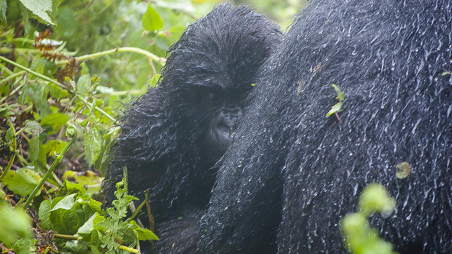 Rwanda Photograph - The Curious One by Paul Weaver