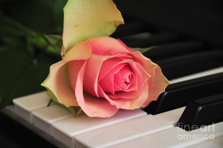 Rose Photograph - The Delicate Rose by Randi Grace Nilsberg