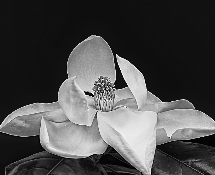 Magnolia Photograph - The Dinner Party by Wendy J St Christopher