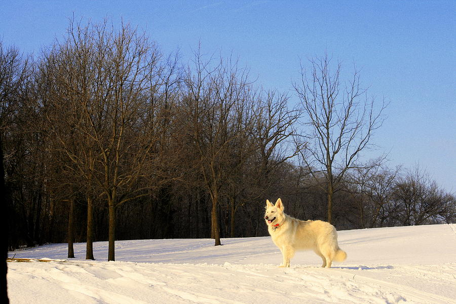 White Shepherd Photograph - The Dog On The Hill by Kay Novy