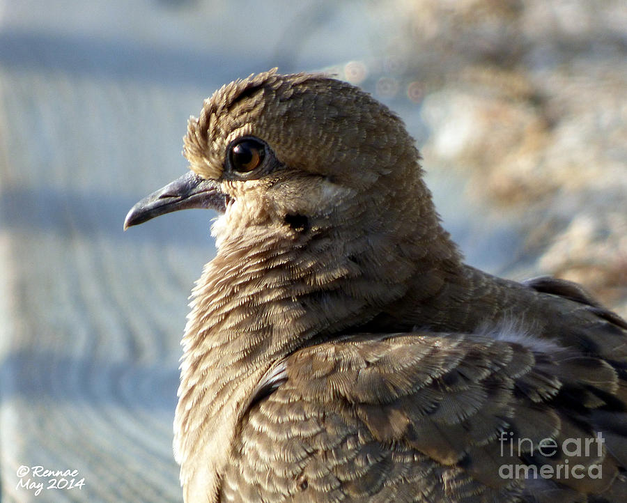 Birds Photograph - The Dove by Rennae Christman