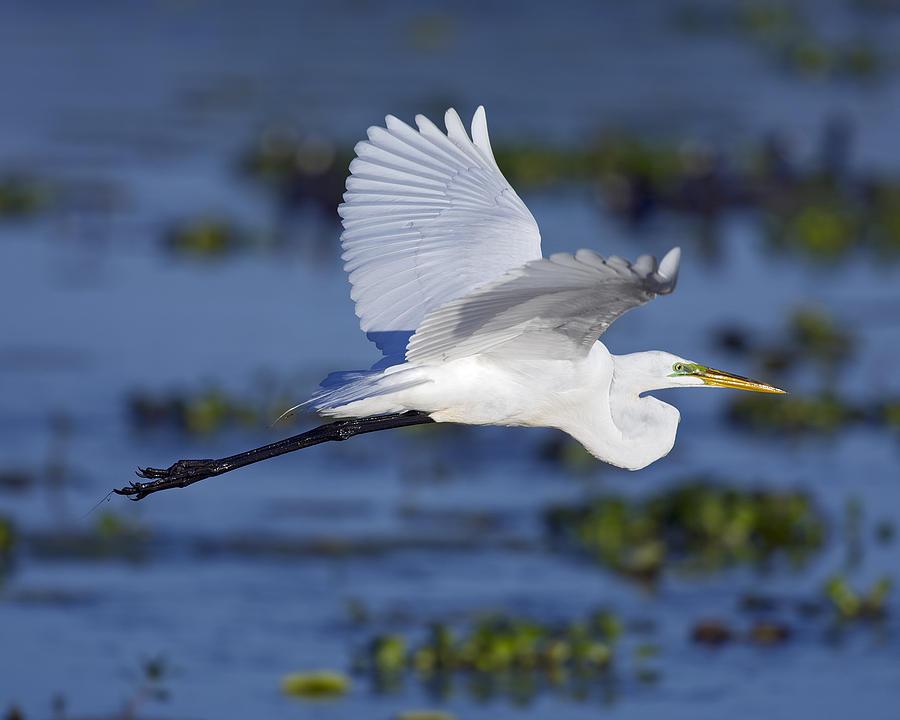 The Elegant Great Egret In Flight Photograph