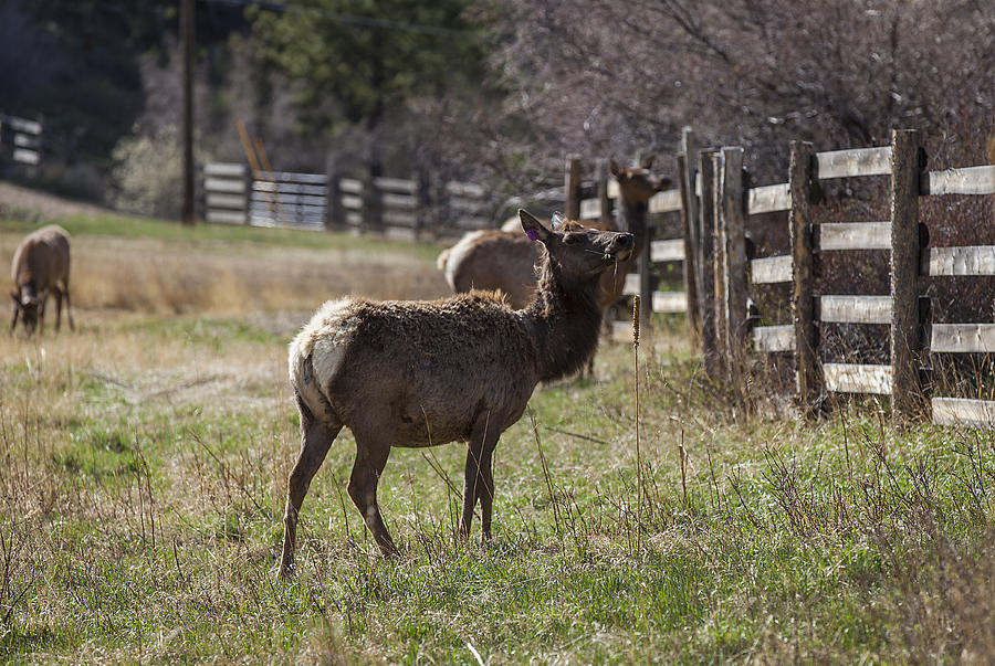 Landscapes Photograph - The Elk In Town by Amber Kresge