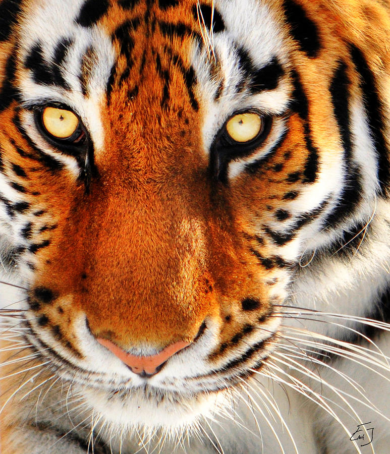 Tiger Photograph - The Eyes by Emily Stauring