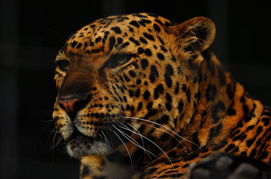 Leopard Photograph - The Face Of A Leopard by Valarie Davis