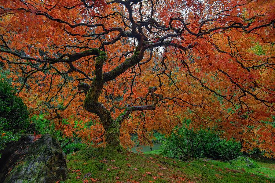 Portland Japanese Garden Photograph - The Famous Tree At Portland Japanese Garden by David Gn