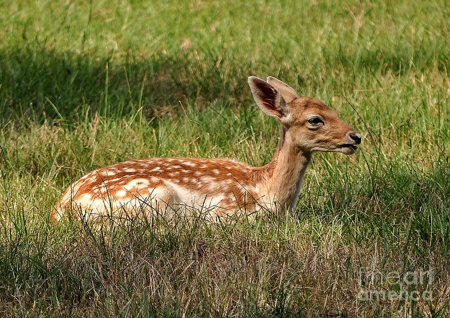 Deer Photograph - The Fawn by Kathy Baccari