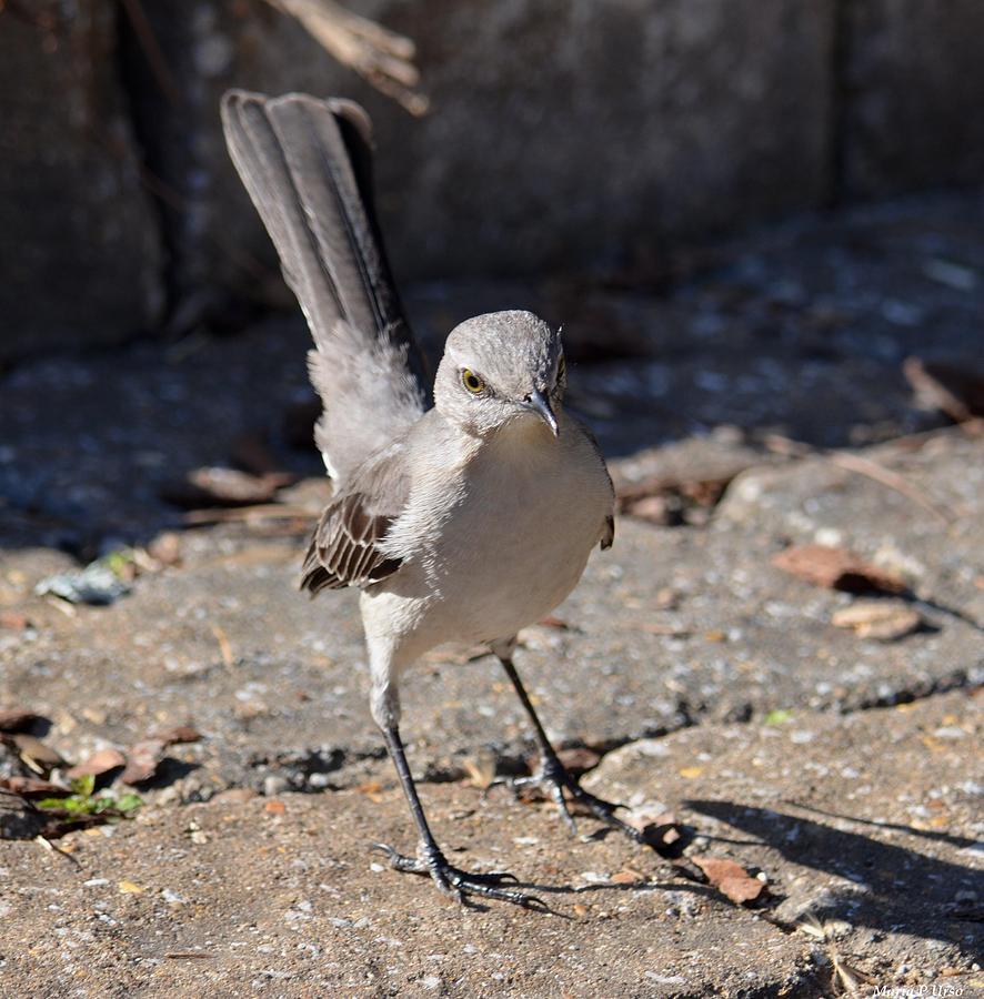 Catbird Photograph - The Fiesty Catbird by Maria Urso