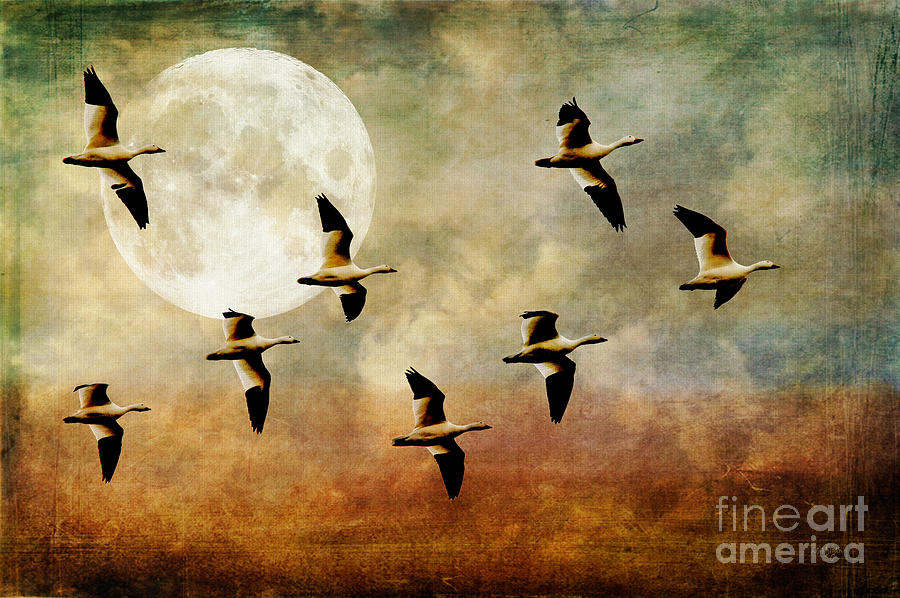 Geese Photograph - The Flight Of The Snow Geese by Lois Bryan