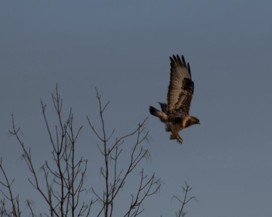 The Photograph - The Flying Hawk by Rhonda Humphreys