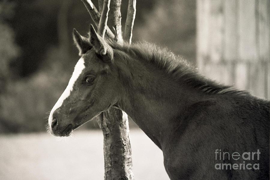 Monochrome Photograph - The Foal by Angel Ciesniarska