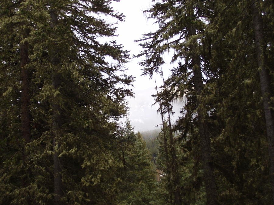 Trees Photograph - The Forest by Yvette Pichette
