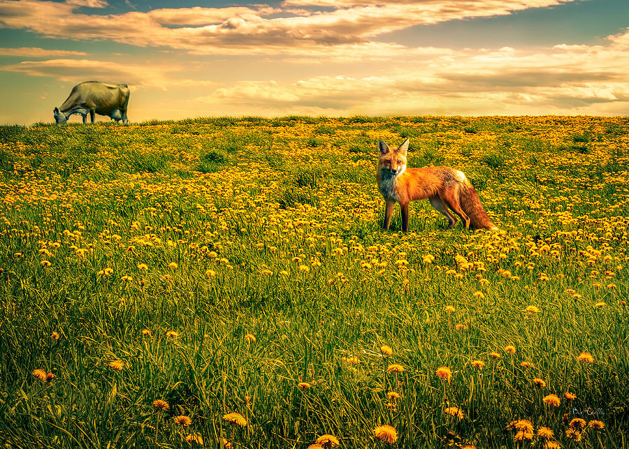 Cows Photograph - The Fox And The Cow by Bob Orsillo