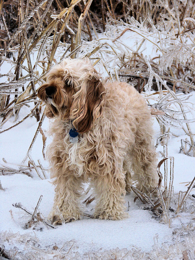Cavapoo Photograph - The Fur Coat by JC Findley