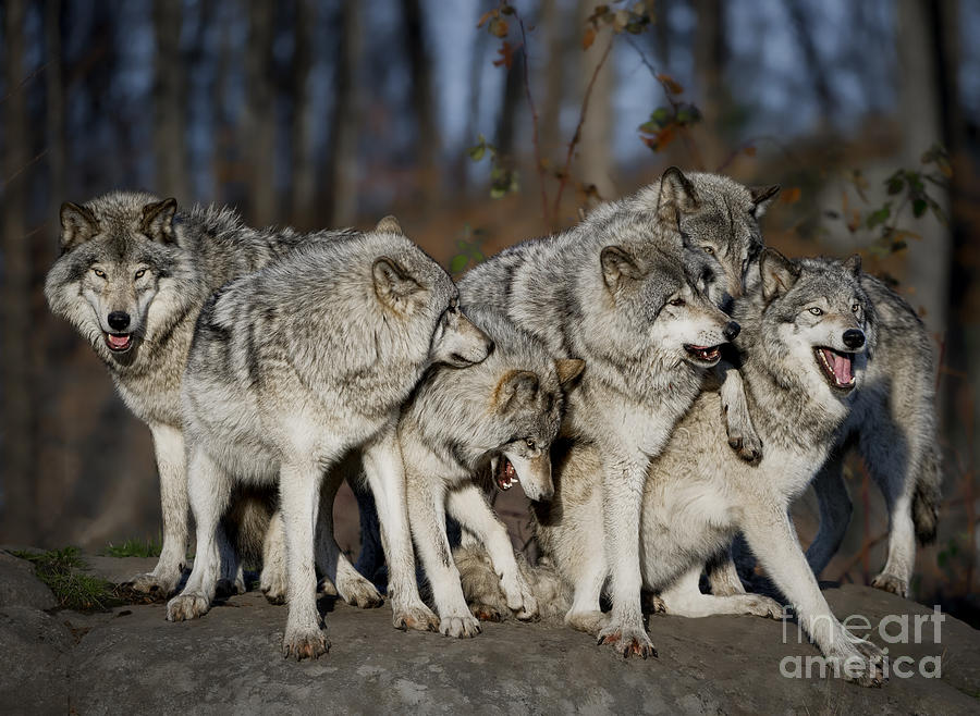 wolf country the pack body postures and social structure - HD 1024×768