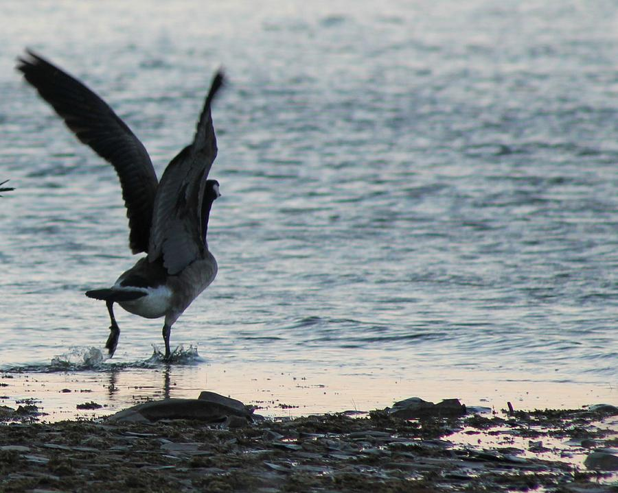 Goose Photograph - The Getaway by Rhonda Humphreys