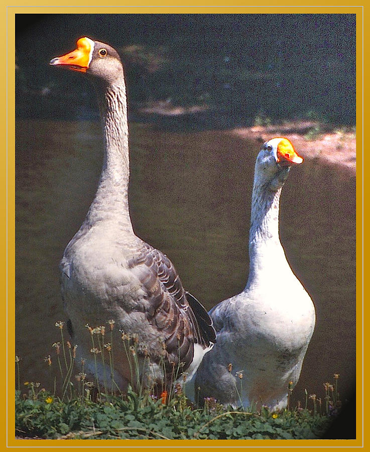 Geese Photograph - The Goose And The Gander by Patricia Keller