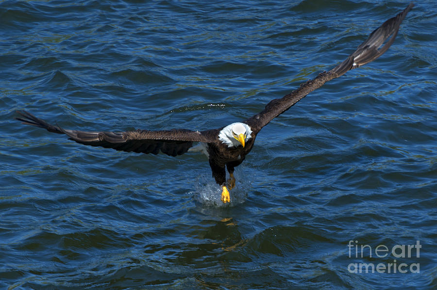 Bald Eagle Photograph - The Grab by Mike Dawson