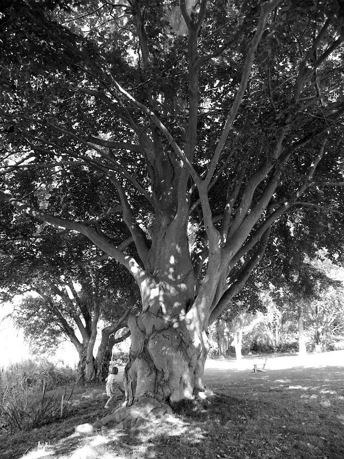 Tree Photograph - The Grandmother Tree by Sarah Lamoureux