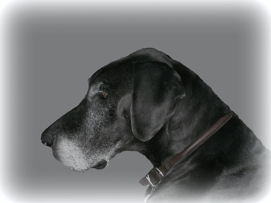 Dog Photograph - The Great Dane by Barbara S Nickerson
