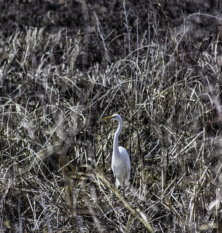 Bird Photograph - The Great Egret by Kris Rowlands