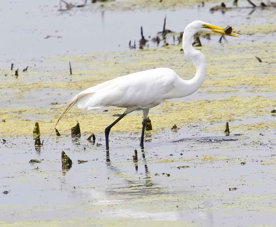 Canon Photograph - The Great White Egret by Ricky L Jones