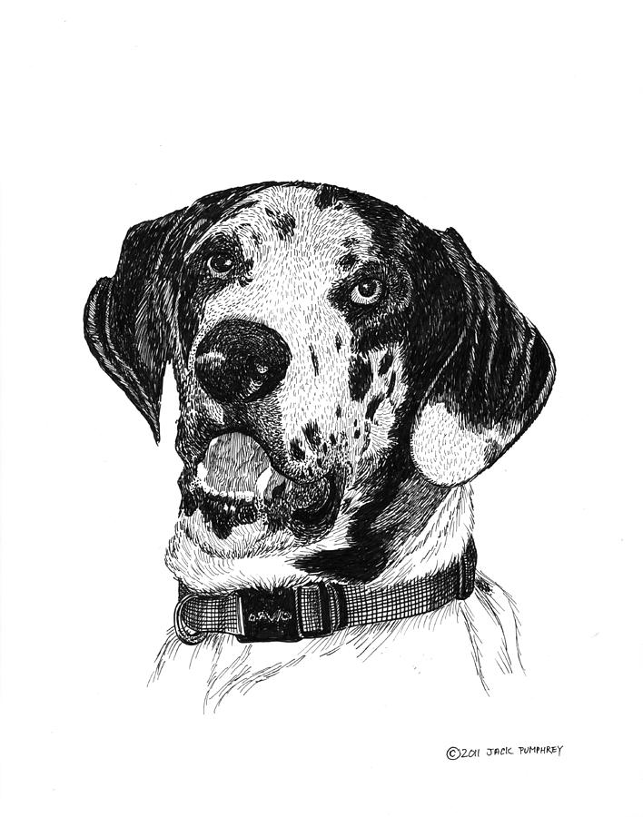 The  Great Dane  Is A Very  Old Breed Drawing - The Greatest Dane by Jack Pumphrey