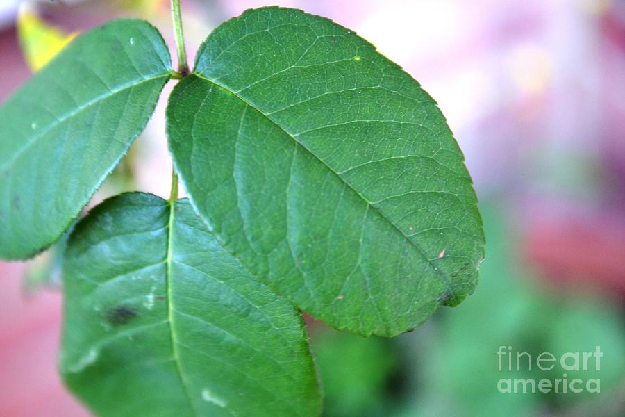 Leaf Photograph - The Green Leaf by Aqil Jannaty