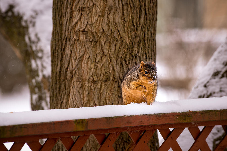 Canton Mi Photograph - The Grey Squirrel George In Winter by  Onyonet  Photo Studios