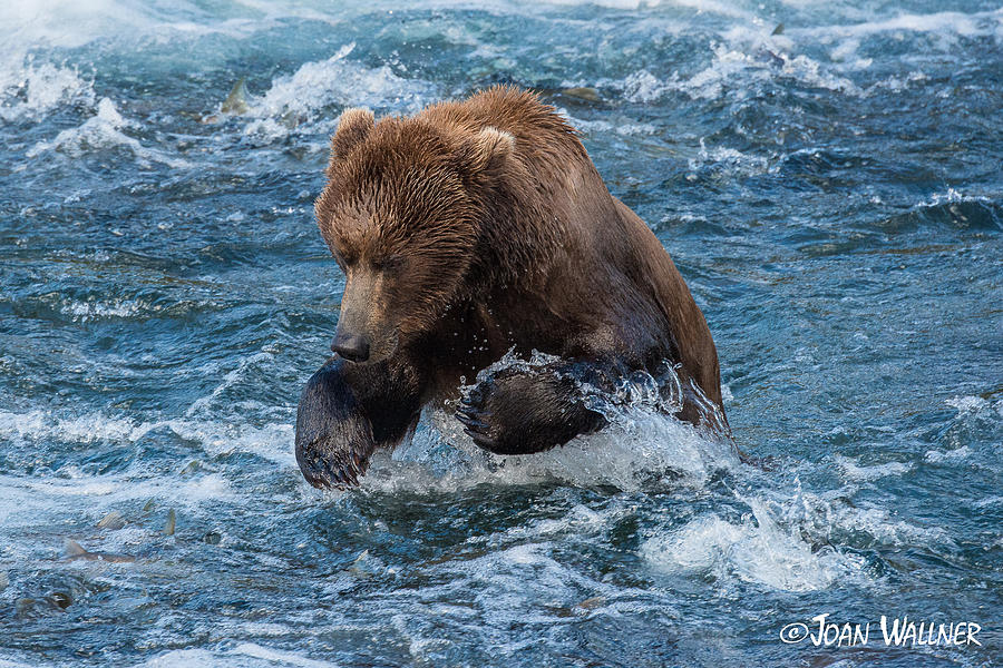 Alaska Photograph - The grizzly plunge by Joan Wallner