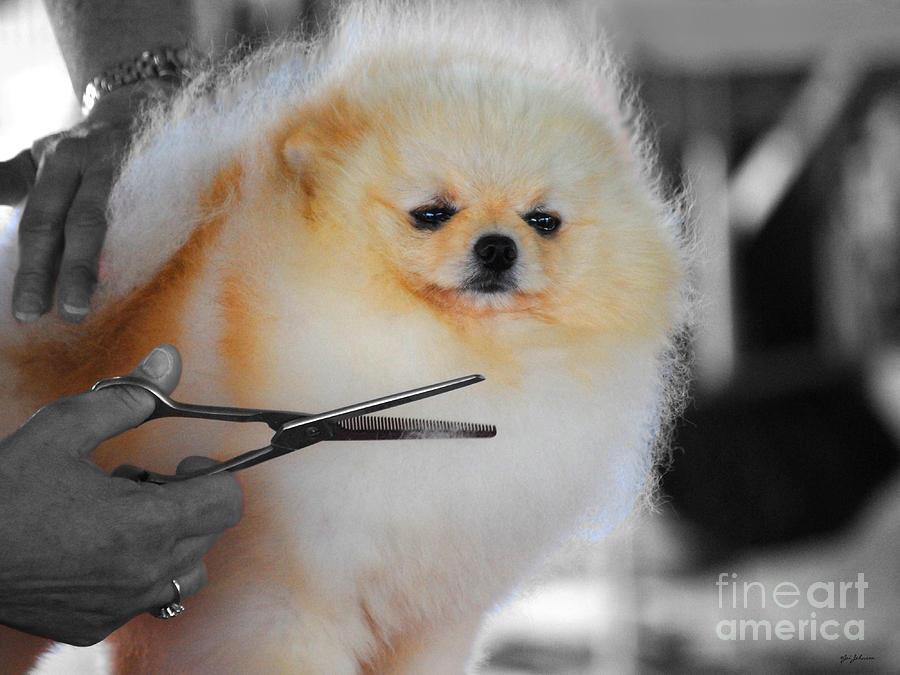 Pomeranian Photograph - The Groomer by Jai Johnson