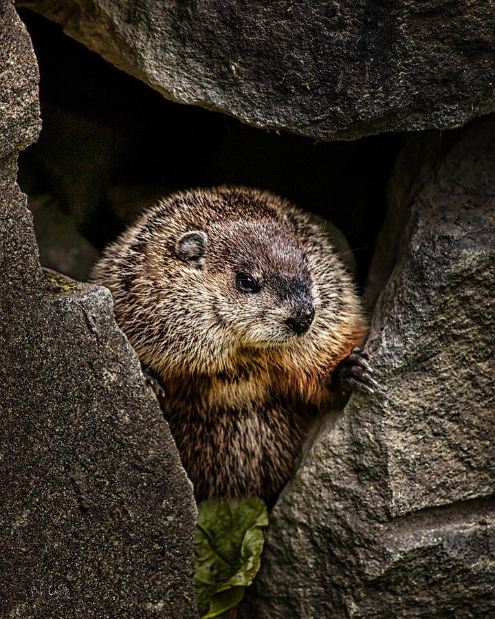 Groundhog Photograph - The Groundhog by Bob Orsillo