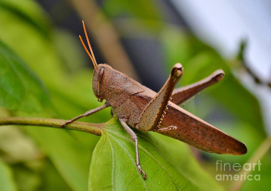 Grasshopper Photograph - The Hip Hopper by Kathy Baccari