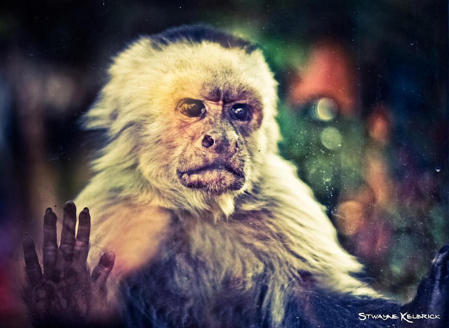 Monkey Photograph - The hopeless ape by Stwayne Keubrick