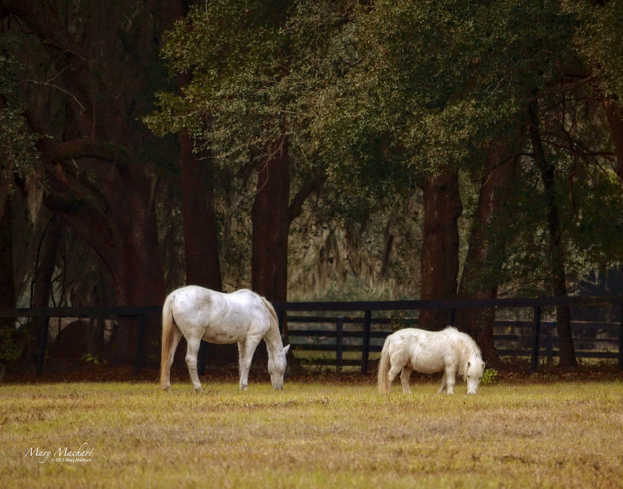 White Horse Photograph - The Horse And The Pony - Standard Size by Mary Machare
