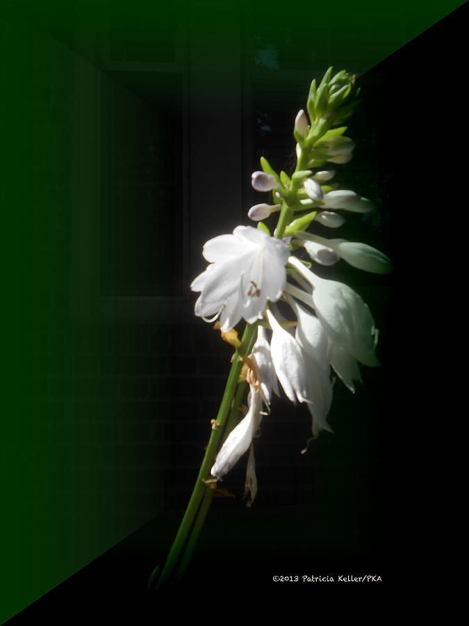 White Photograph - The Hosta Flowers by Patricia Keller