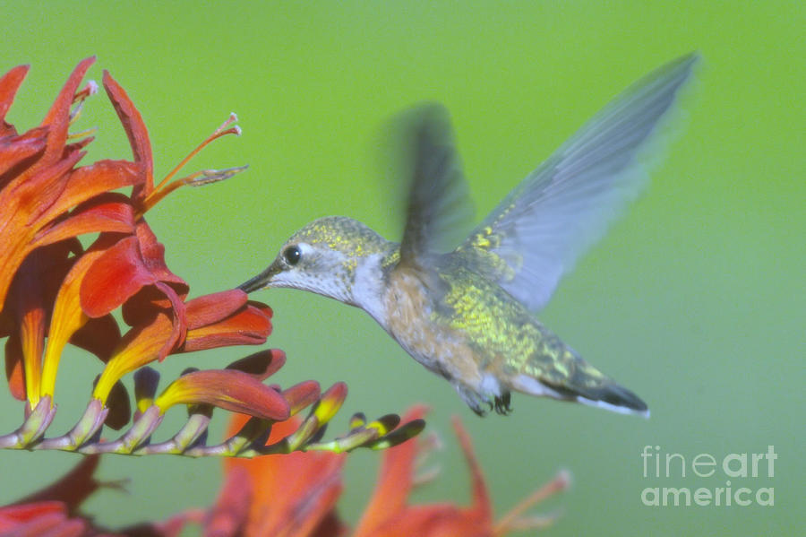 Birds Photograph - The Humming Bird Sips  by Jeff Swan