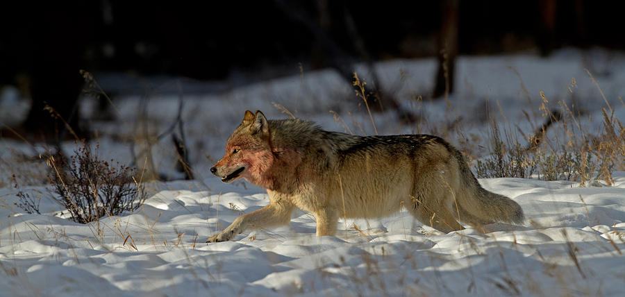 Canis Lupus Photograph - The Hunt by Sandy Sisti