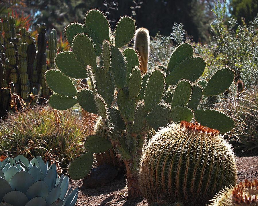 Desert Garden Photograph - The Huntington Desert Garden by Rona Black