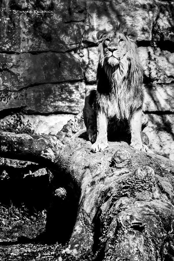 Lion Photograph - The jungle king by Stwayne Keubrick