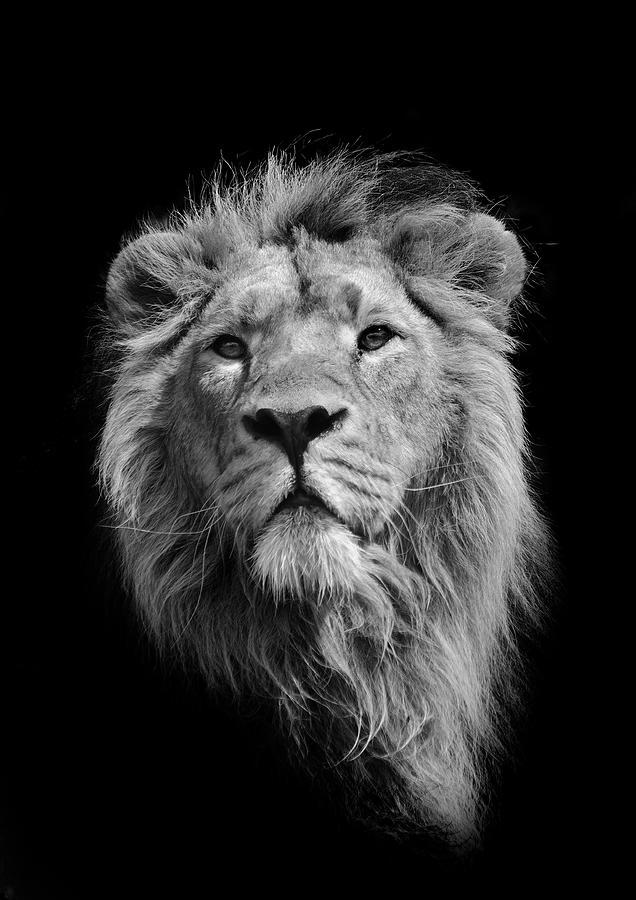 The King Asiatic Lion Photograph by Stephen Bridson Photography