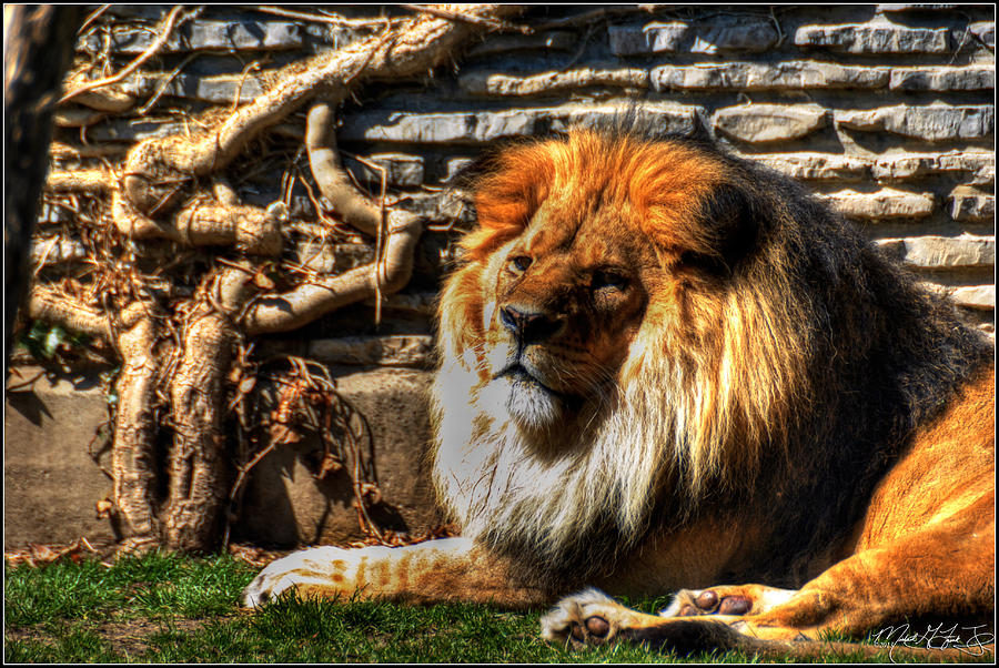 Lion Photograph - The King Lazy Boy At The Buffalo Zoo by Michael Frank Jr