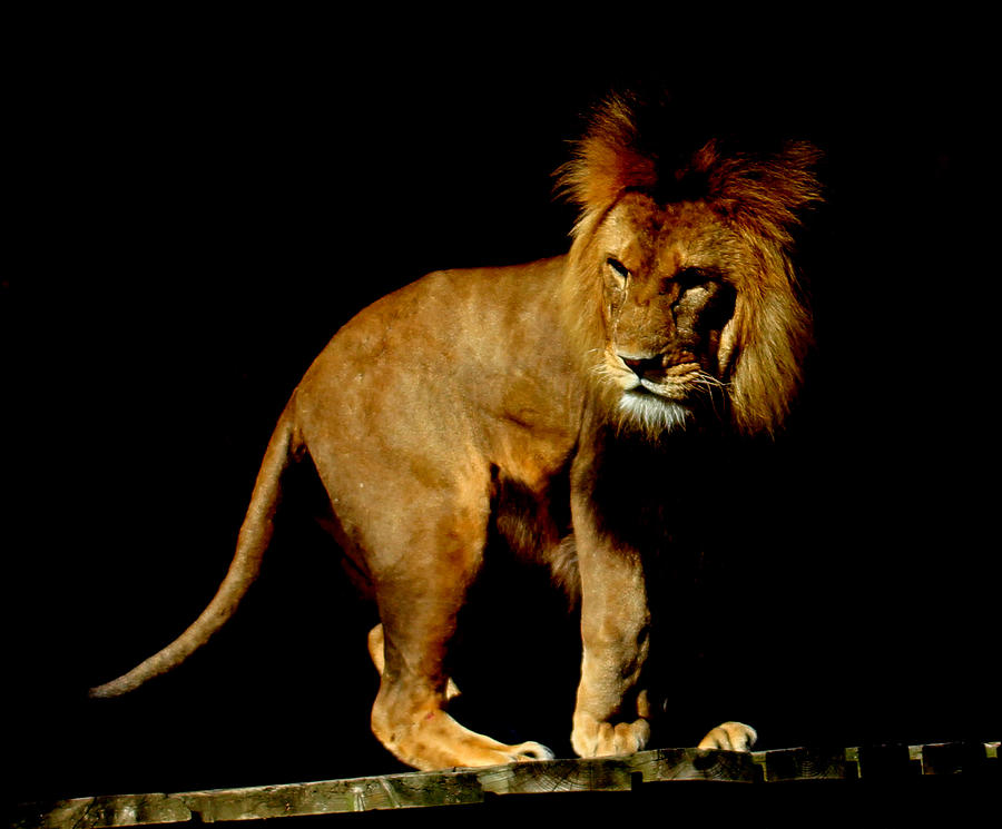Lion Photograph - The King by Martin Newman