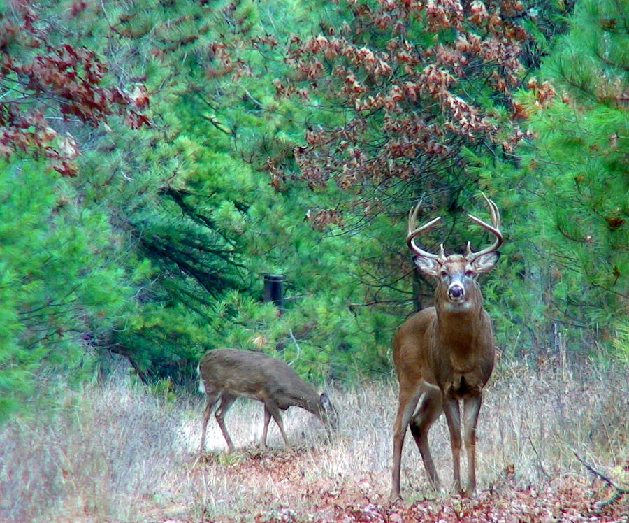 Whitetail Photograph - The King by Thomas Young