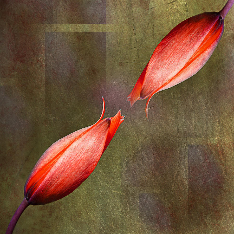 Tulips Photograph - The Kiss by Claudia Moeckel