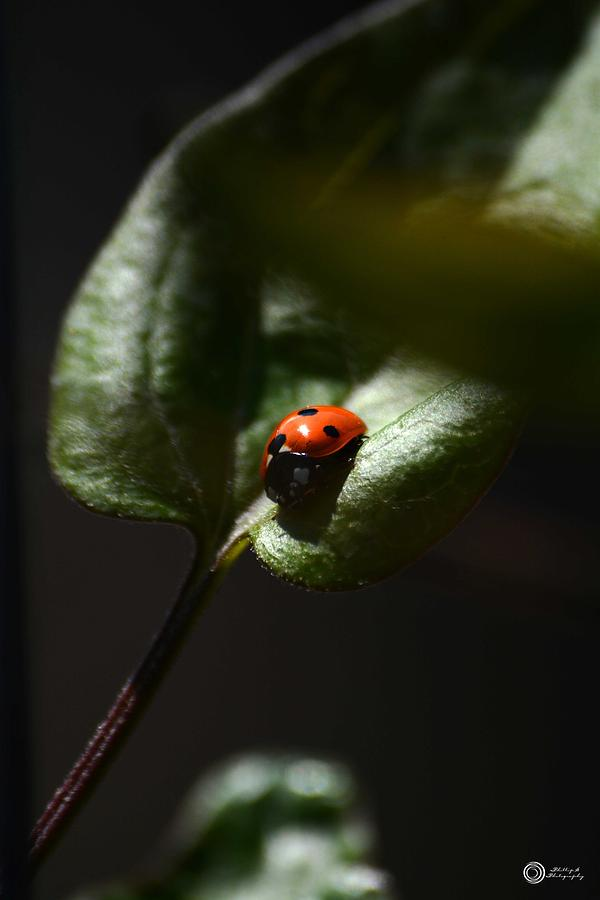 Lady Bug Photograph - The Lady Bug by Phillip Segura