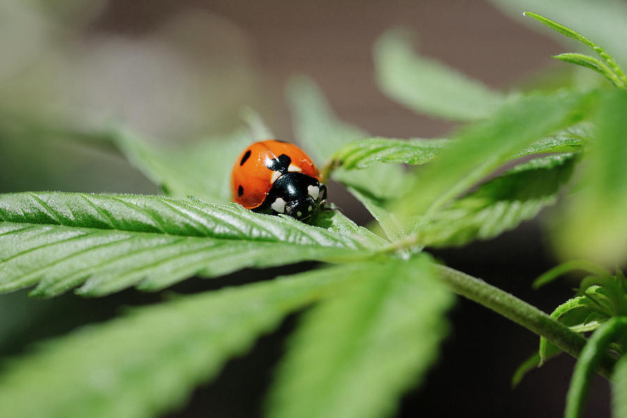Agriculture Photograph - The Ladybug And The Cannabis Plant by Stock Pot Images