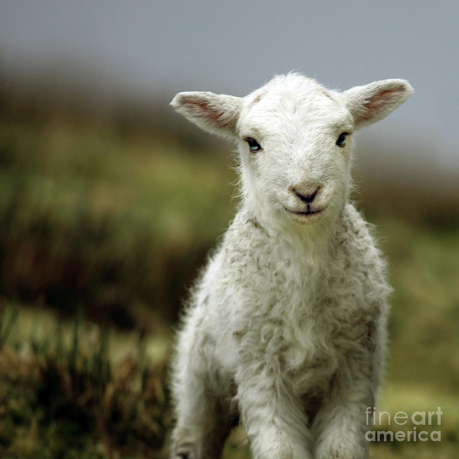 Wales Photograph - The Lamb by Angel Ciesniarska